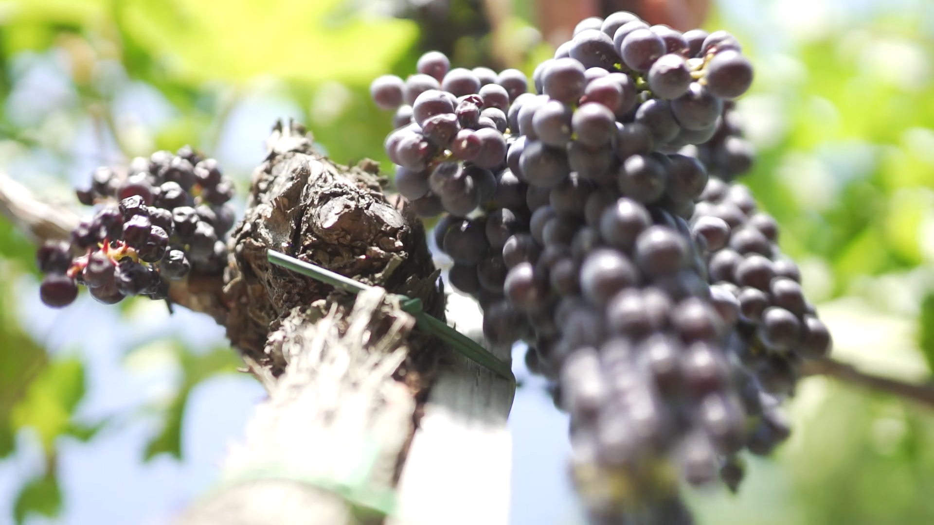 Vendemmia in Ultra Slow Motion